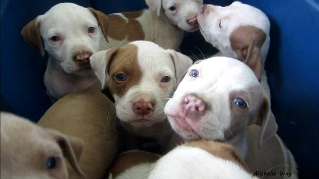11 pit puppies PFL 7.27.13 ds